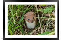 Weasel in the grass., Framed Mounted Print