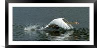 Swan takeoff over water, Framed Mounted Print
