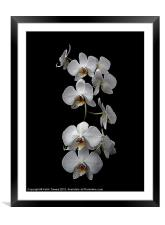 White Dendrobium Orchid Canvas & prints, Framed Mounted Print