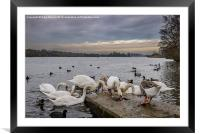 Hungry swans , Framed Mounted Print