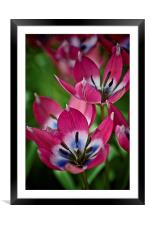 Spring Tulips, Framed Mounted Print