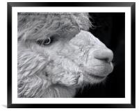 Alpaca, Framed Mounted Print