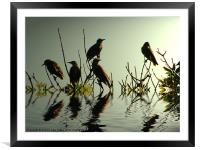 Starling Sunset, Framed Mounted Print