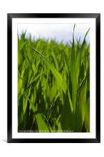 Wheat Leaves, Framed Mounted Print