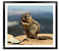 Ground squirrel from Utah., Framed Mounted Print