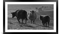 Beacons Cows, Framed Mounted Print