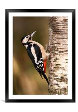 Great spotted woodpecker, Framed Mounted Print