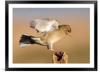 Chaffinch, Framed Mounted Print