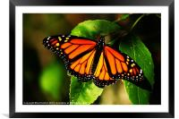 Monarch, Framed Mounted Print