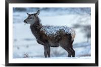 Red Deer Hind In The Snow, Framed Mounted Print