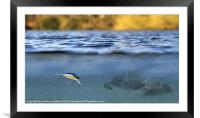 fishing lure in use, Framed Mounted Print