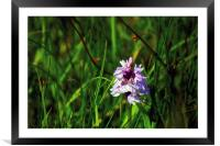 Heath Spotted Orchid, Framed Mounted Print