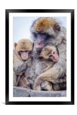 Barbary Macaque, Framed Mounted Print