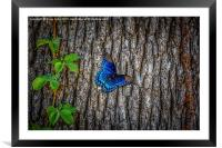 Blue Butterfly, Framed Mounted Print