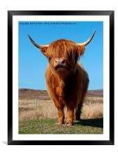 Highland Cow                              , Framed Mounted Print