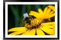 Bee on Helianthus, Framed Mounted Print