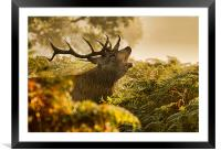 Calling Stag, Framed Mounted Print