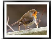 Friendly Robin (Erithacus rubecula), Framed Mounted Print