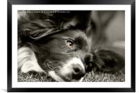 Loveable Rescued Border Collie dog, Framed Mounted Print