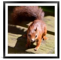 British Red Squirrel, Framed Mounted Print