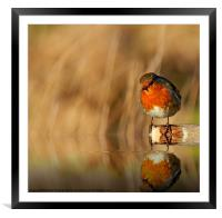 Robin red Breast (Erithacus rubecula), Framed Mounted Print
