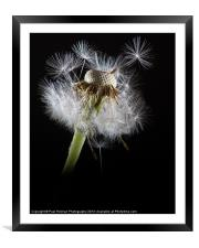 Dandelion seeds, Framed Mounted Print