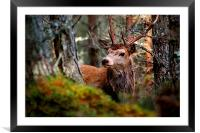 Stag in the woods, Framed Mounted Print