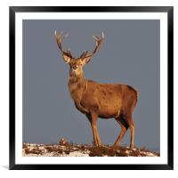 Royal Stag, Framed Mounted Print