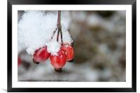 Guelder Rose in the Snow, Framed Mounted Print