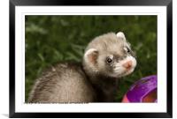 Young Ferret, Framed Mounted Print