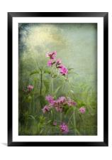 Red Catchfly (Campion), Framed Mounted Print