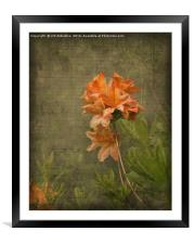 Azalea, Framed Mounted Print