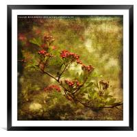Pink Hawthorn in Flower, Framed Mounted Print