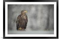 White-tailed Eagle, Framed Mounted Print