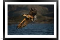 White-tailed Eagle in flight, Framed Mounted Print