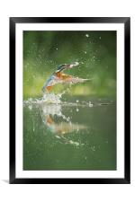 Kingfisher with catch., Framed Mounted Print