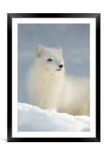 Arctic Fox in Winter, Framed Mounted Print