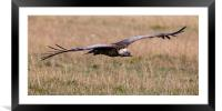 Griffon Vulture, Framed Mounted Print