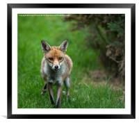 Red Fox in the grass, Framed Mounted Print