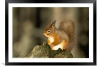 SMILING RED SQUIRREL, Framed Mounted Print