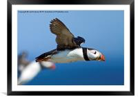 Puffin in Flight , Framed Mounted Print