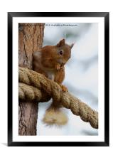 Red Squirrel on the Ropes, Framed Mounted Print