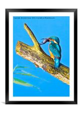 Kingfisher , Framed Mounted Print