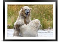 Male Polarbear Playing in Lake, Framed Mounted Print
