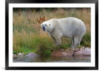 Male Polarbear Standing by the Lake, Framed Mounted Print