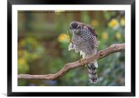 Sparrowhawk Having a Scratch, Framed Mounted Print