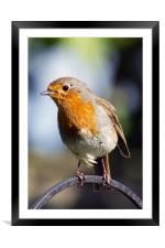 Robin Portrait 1, Framed Mounted Print