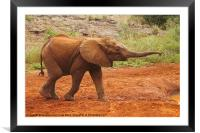 Little Elephant Looking For Food, Framed Mounted Print