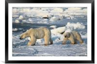 Polar Bears Walking on the Tundra, Framed Mounted Print