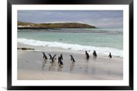 Magellanic Penguins on the Beach, Framed Mounted Print
